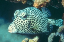 Spotted-Trunkfish
